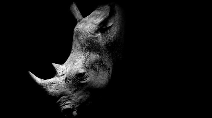 Rhinozeros Kopf aus Dunkelheit